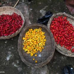 erschiedene Chili-/Pfeffersorten, wichtiger Bestandteil der nigerianischen Küche / DAHW
