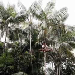 Palmen hoch klettern zu können ist ein wichtige Fähigkeit. / DAHW